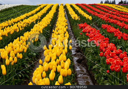 Red Yellow Tulip Hills Flowers Skagit Valley Washington State stock photo, Red Yellow Tulip Hills Flowers Skagit Valley Farm Washington State Pacific Northwest by William Perry