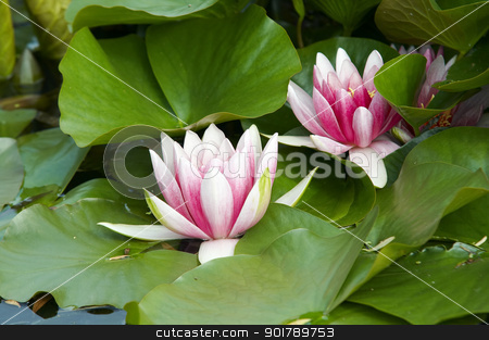 waterlily stock photo, Shot of the white representative water lily on the water by Siloto