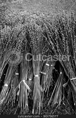 Bind the dried plant harvest  stock photo, Bind the dried plant harvest  by Patipat Rintharasri