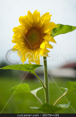 Sunflower stock photo, Sunflower in village by Vadim
