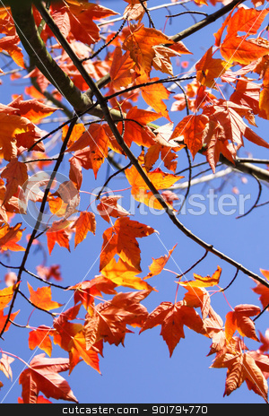 Pattern of Maple Leaves Overhead stock photo, Autumn leaves of a maple glow a vibrant orange in the sunlight by Sarah-Jane Allen