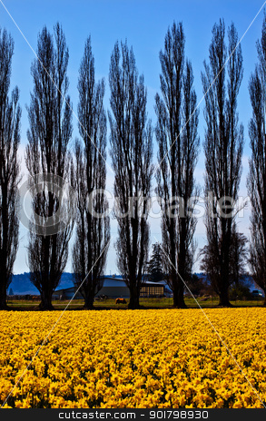 Yellow Daffodils Flowers Cypress Trees Skagit Valley Washington  stock photo, Yellow Daffodils, Cypress Trees, Farm, Flowers Skagit Valley Washington State Pacific Northwest by William Perry