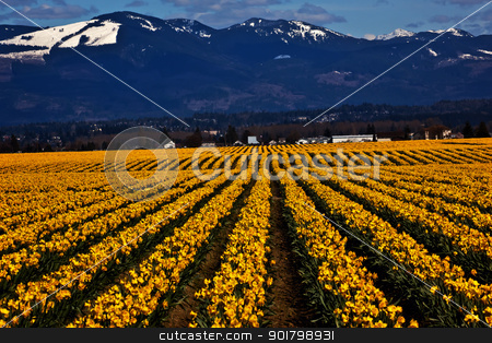 Spring Yellow Daffodil Row Flowers Skagit Valley Washington Stat stock photo, Spring Yellow Daffodil Rows Flowers Snow Mountains Skagit Valley Washington State Pacific Northwest by William Perry