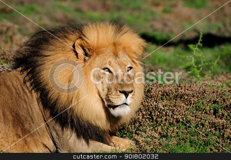 A male Kalahari lion, Panthera leo, in the Addo Elephant Nationa stock photo, A male Kalahari lion, panthera leo, in the Kuzuko contractual area of the Addo Elephant National Park in South Africa by Grobler du Preez