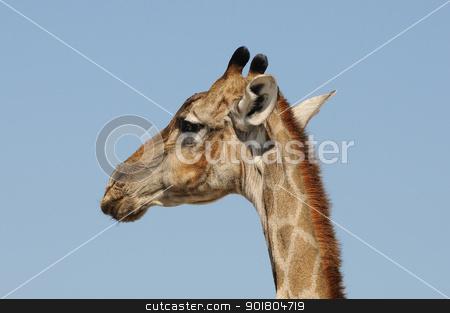 Giraffe, Etosha National Park, Namibia stock photo, Giraffe, Giraffa camelopardalis angolensis, Etosha National Park, Namibia by Grobler du Preez