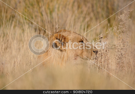 Lion, Panthera leo, in the Etosha National Park stock photo, Lion, Panthera leo, Etosha National Park, Namibia by Grobler du Preez