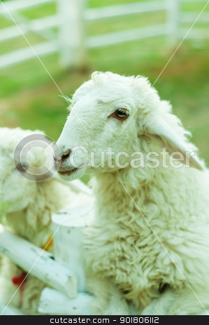 Two Sheep in corral with nature light stock photo, Two Sheep in corral with nature light by moggara12