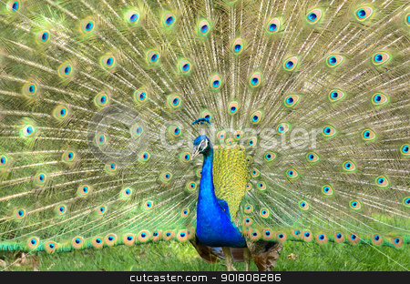 Peacock stock photo, A colorful peacock with his feathers on display. by Richard Nelson