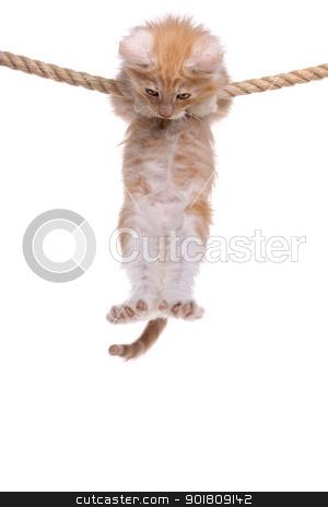 Red Norwegian forest kitten stock photo, Red Norwegian forest kitten hanging on a rope by Erik Lam