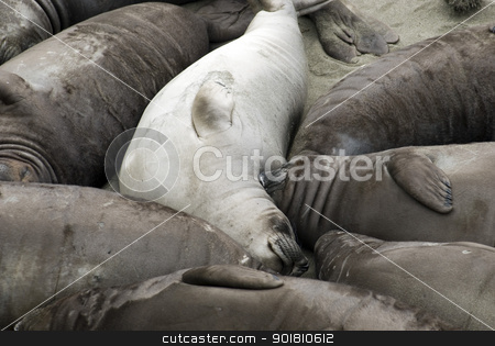 Safety in Numbers stock photo, Dozens of seals huddled together on a Californian beach by Stephen Gibson