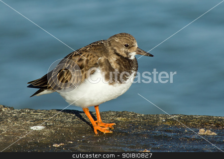 A Ruddy Turnstone bird in Cornwall UK.  stock photo, A Ruddy Turnstone bird in Cornwall UK.  by Stephen Rees