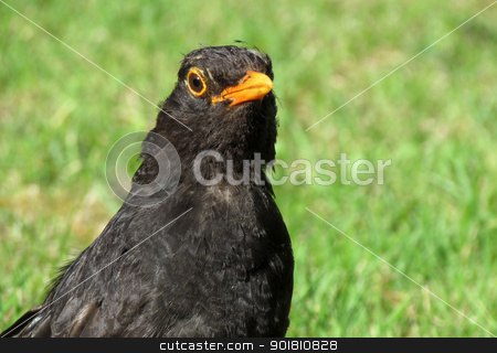 Close up of a British blackbird on a grass lawn stock photo, Close up of a scruffy British blackbird on a grass lawn. by Stephen Rees