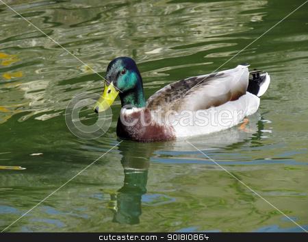Colourful male mallard duck (Anas platyrhynchos) in a lake. stock photo, Colourful male mallard duck (Anas platyrhynchos) in a lake. by Stephen Rees
