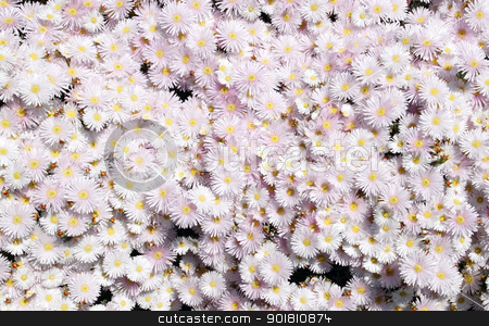Light pink mesembryanthemum ice plant close up. stock photo, Light pink mesembryanthemum ice plant close up. by Stephen Rees