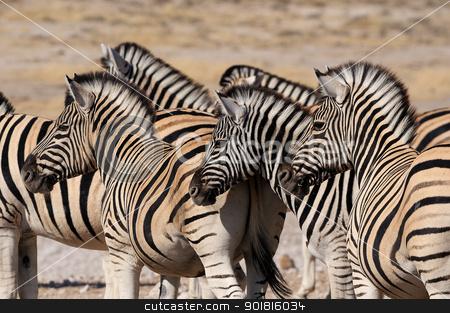 Zebra herd, Etosha, Namibia stock photo, Zebra herd in Etosha National Park, Namibia by Grobler du Preez