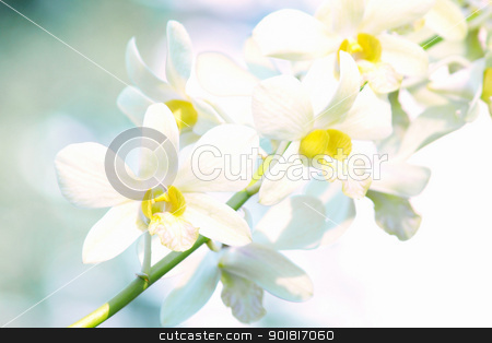 Yellow dendrobium orchid flower  stock photo, Yellow dendrobium orchid flower RA by jakgree