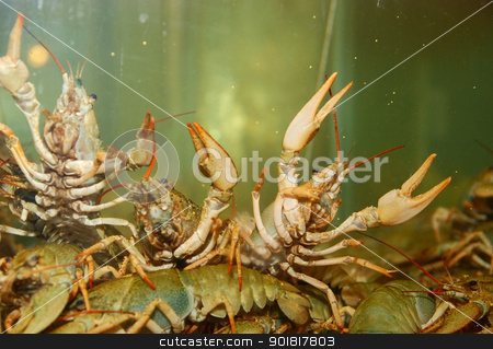 River crayfish stock photo, River crayfish in an aquarium by Vadim