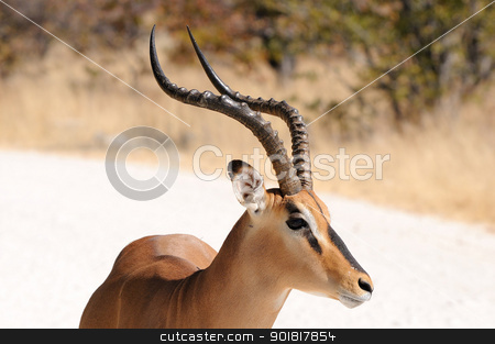 Impala in the Etosha National Park stock photo, Male Impala in the Etosha National Park by Grobler du Preez