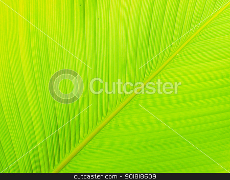 Texture and detail of Banana Leaf stock photo, Texture and detail of Banana Leaf by jakgree