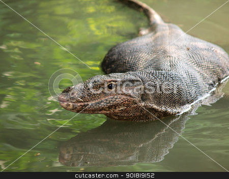 Wild varanus on the water ,Focus on the varanus eye. stock photo, Wild varanus on the water ,Focus on the varanus eye. by jakgree