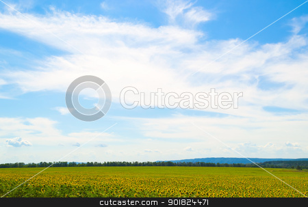 Sunflower field stock photo, Beautiful field of sunflowers. Many yellow flower by Imaster