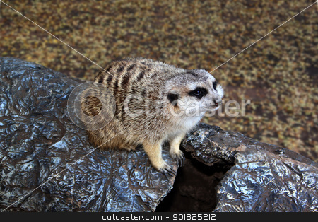 Little Meerkat Sitting on Imitation Stump  stock photo, Picture of Little Meerkat Sitting on Imitation Tree Stump  by Snap2Art
