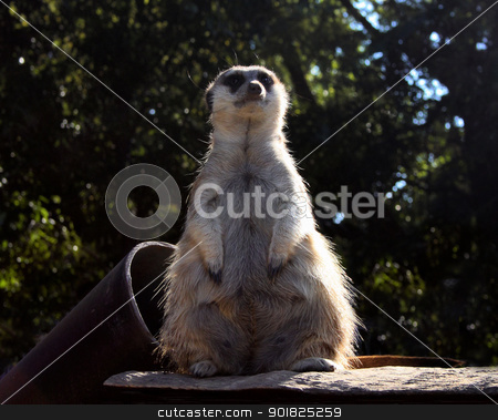 Little Fat Meerkat Sitting  stock photo, Picture of Little Fat Meerkat Leader Sitting in Captivity  by Snap2Art