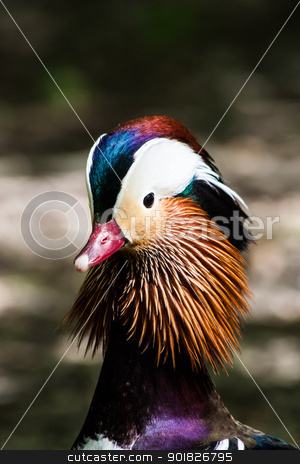 Mandarin Duck stock photo, Mandarin Duck (Aix galericulata) in his typical vibrant colors by Perseomedusa