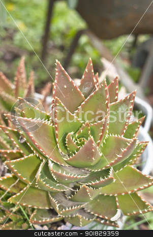 aloe stock photo, a beautiful aloe in the garden by Gandolfo Cannatella