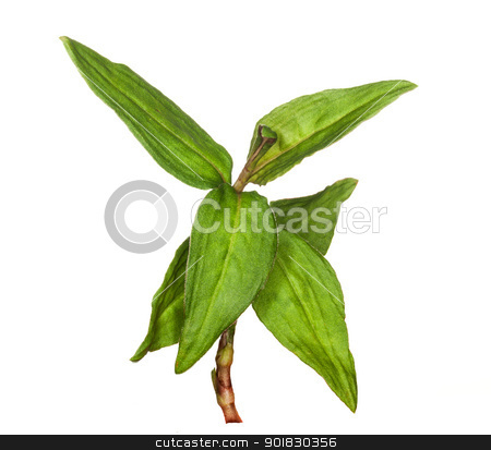 Macro Vietnamese Coriander herb plant stock photo, Leaves of vietnamese coriander plant herb in macro isolated against white background by Steven Heap
