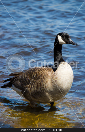 Canadian goose   stock photo, Canadian goose on the shore. by Click Images
