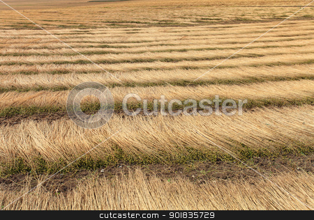fields of flax harvested drawing lines on the floor