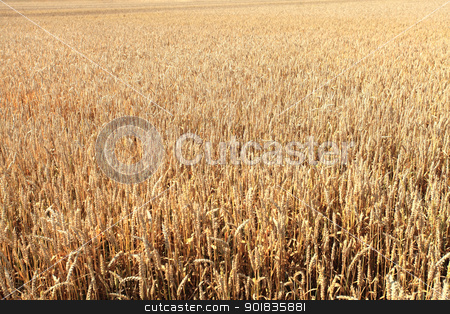 wheat fields under the sun in the summer before harvest stock photo, wheat fields under the sun in the summer before harvest by Chretien