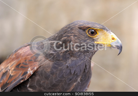 Harris's Hawk stock photo, portrait of an Harris Hawk, Parabuteo unicinctus by Bonzami Emmanuelle