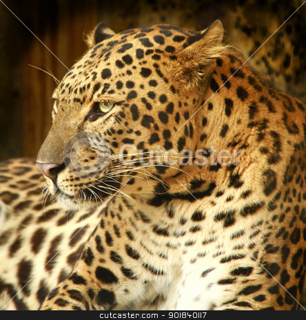 Leopard. stock photo, Close-up portrait of a Leopard. by asbasb