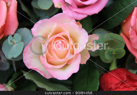 Pink rose close up stock photo, Close up of a rose in different shades of pink by Porto Sabbia