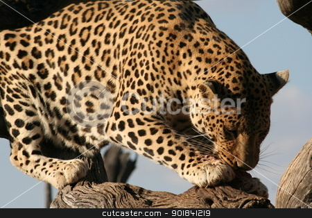 leopard stock photo, leopard eating by Monica