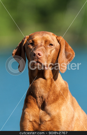 Vizsla Dog Portrait stock photo, A closeup shot of a Visla dog (Hungarian pointer) with a blue and green background. by Brian Guest