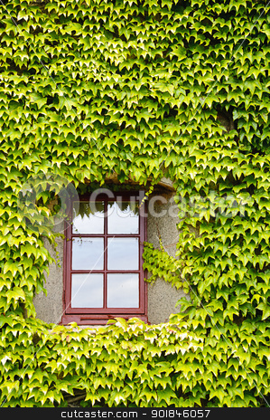 Ivy covered wall and window stock photo, View of a closed window and of a wall covered with ivy by Alessandro Rizzolli