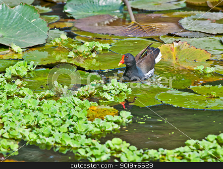 Common Moorhen looking for food in lake water stock photo, Bird, Common Moorhen searching for food in lake water amongst Lotus leaves and flower buds by Srijan Roy Choudhury