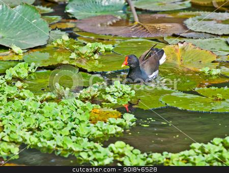 Common Moorhen looking for food in lake water stock photo, Bird, Common Moorhen searching for food in lake water amongst Lotus leaves and flower buds by Srijan Roy Choudhury