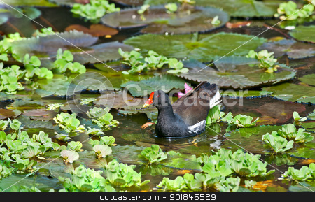 Common Moorhen looking for food in lake water stock photo, Bird, Common Moorhen, Gallinula chloropus, searching for food in lake water amongst Lotus leaves and flower buds by Srijan Roy Choudhury