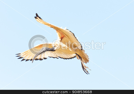 A Crane in flight stock photo, A Crane in flight frozen in mid air by derejeb
