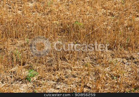 Drought stock photo, A drought and harvested field with rests of plants. by Michael Osterrieder