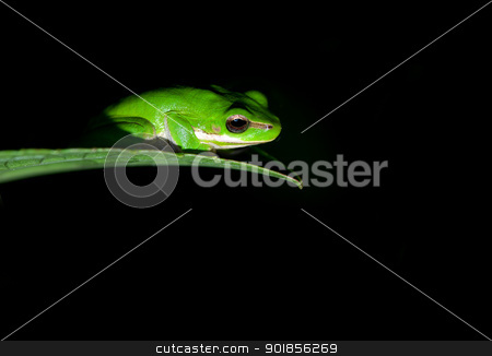 under the spotlight stock photo, litoria fallax, dwarf green tree frog caught in the spotlight by Phil Morley