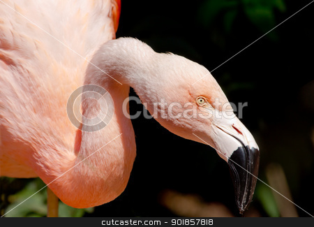 Pink Chilean Flamingo Looking for Food stock photo, Pink Chilean Flamingo, Phoenicopterus chilensis, Looking for Food with Orange white and pink feathers, yellow eye, black beak by William Perry