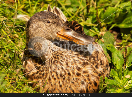 Female Northern Shoveler Duck in Grass Anas Clypeata stock photo, Female Northern Shoveler Duck in Grass, Close Up of Head and Brown Feathers, Anas Clypeata by William Perry