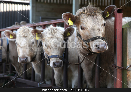Three Cows stock photo, Three cows in a farm by Haider Azim