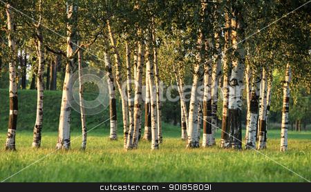 grove stock photo, Beautiful landscape with the sun and shades in a birchwood by mrivserg