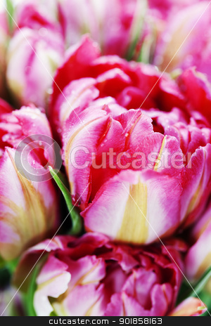 Pink tulips stock photo, Fresh Pink tulips  background - selective focus by klenova